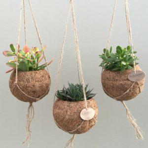 hangplant binnen plafondplant hang tuin hangende tuinen binnen vetplanten cactus