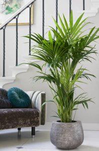 kentia palm plant palmboom kamerplant plant voor in de kamer goedkoop