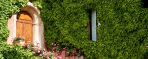 klimop-onderhoud-groeien-begeleiden-kleur-groen-tuin-raam-omhoog-omlaag